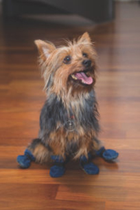 A dog sitting on a wood floor wearing slippers